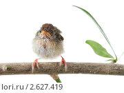 Купить «Птенец», фото № 2627419, снято 19 февраля 2011 г. (c) Дмитрий Эрслер / Фотобанк Лори