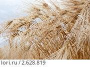 Купить «Колосья ржи», фото № 2628819, снято 28 июня 2011 г. (c) Алексей Букреев / Фотобанк Лори