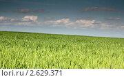 Купить «Зеленые поля пшеницы на фоне голубого неба», видеоролик № 2629371, снято 24 мая 2010 г. (c) Михаил Коханчиков / Фотобанк Лори