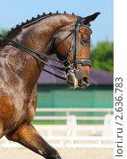 Купить «Выездка: портрет гнедой лошади», фото № 2636783, снято 1 июля 2011 г. (c) Абрамова Ксения / Фотобанк Лори
