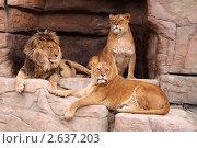 Купить «Львы на отдыхе», фото № 2637203, снято 4 апреля 2010 г. (c) Анна Гучек / Фотобанк Лори