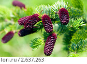 Купить «Лиловые хвойные шишки», фото № 2637263, снято 30 июня 2011 г. (c) RedTC / Фотобанк Лори