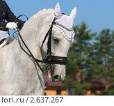 Купить «Выездка: портрет светло-серой лошади», фото № 2637267, снято 1 июля 2011 г. (c) Абрамова Ксения / Фотобанк Лори