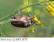 Майский жук. Стоковое фото, фотограф Виктор Зандер / Фотобанк Лори