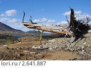 Купить «Погибшее дерево на склоне сопки», фото № 2641887, снято 31 мая 2011 г. (c) Валерий Александрович / Фотобанк Лори