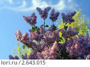 Купить «Сирень розовая», фото № 2643015, снято 5 июня 2011 г. (c) Дамир / Фотобанк Лори