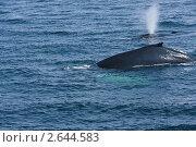 Купить «Горбатые киты (Megaptera novaeangliae)», фото № 2644583, снято 17 августа 2009 г. (c) Тимофей Косачев / Фотобанк Лори