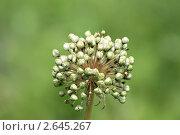 Семена чеснока. Стоковое фото, фотограф Игорь Алексеенко / Фотобанк Лори