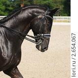 Купить «Конный спорт (выездка) - портрет вороной лошади», фото № 2654067, снято 1 июля 2011 г. (c) Абрамова Ксения / Фотобанк Лори