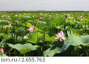 Купить «Лотосовые поля в дельте Волги», фото № 2655763, снято 25 июля 2009 г. (c) Анастасия Богатова / Фотобанк Лори
