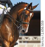 Купить «Конные соревнования по выездке - портрет гнедой лошади», фото № 2656559, снято 1 июля 2011 г. (c) Абрамова Ксения / Фотобанк Лори