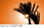 Купить «Пальма в контровом свете», видеоролик № 2657135, снято 16 декабря 2010 г. (c) Михаил Коханчиков / Фотобанк Лори