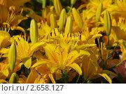 Желтые лилии. Стоковое фото, фотограф lana1501 / Фотобанк Лори
