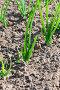 Плантация зеленого лука, фото № 2661743, снято 17 июня 2011 г. (c) Александр Fanfo / Фотобанк Лори