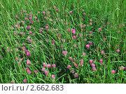 Купить «Клевер луговой (Trifolium pratense)», эксклюзивное фото № 2662683, снято 28 июня 2009 г. (c) Алёшина Оксана / Фотобанк Лори
