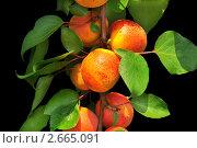 Ветка с абрикосами на черном фоне. Стоковое фото, фотограф Сергей Слабенко / Фотобанк Лори
