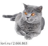 Купить «Британская кошка на белом фоне», фото № 2666863, снято 19 марта 2019 г. (c) Дмитрий Калиновский / Фотобанк Лори