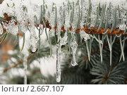 Купить «Замерзшая веточка ели», фото № 2667107, снято 28 мая 2020 г. (c) severe / Фотобанк Лори