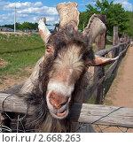 Купить «Козёл безрогий», фото № 2668263, снято 21 мая 2009 г. (c) Юрий Назаров / Фотобанк Лори