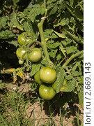 Зелёные помидоры на грядке. Стоковое фото, фотограф Дмитрий Куш / Фотобанк Лори