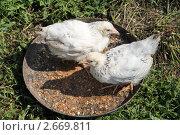 Купить «Цыплята адлерской породы», эксклюзивное фото № 2669811, снято 3 июля 2011 г. (c) Александра Меланич / Фотобанк Лори