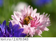 Пчела на розовом васильке. Стоковое фото, фотограф Щеголева Ольга / Фотобанк Лори