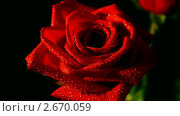 Купить «Красная роза», видеоролик № 2670059, снято 14 марта 2011 г. (c) Михаил Коханчиков / Фотобанк Лори