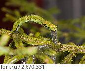 Купить «Еловые ветки, скованные льдом», фото № 2670331, снято 21 ноября 2010 г. (c) Argument / Фотобанк Лори
