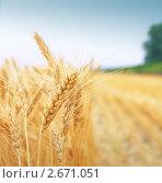 Купить «Пшеничное поле», фото № 2671051, снято 13 июля 2009 г. (c) Игорь Струков / Фотобанк Лори