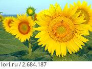 Купить «Цветущий подсолнечник», фото № 2684187, снято 15 июля 2011 г. (c) Федор Королевский / Фотобанк Лори