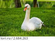 Купить «Лебедь на траве», фото № 2684263, снято 8 июля 2011 г. (c) Ольга Аристова / Фотобанк Лори