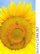 Цветущий подсолнечник и пчелы.Helianthus annuus. Стоковое фото, фотограф Федор Королевский / Фотобанк Лори