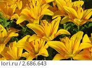 Купить «Желтые лилии», эксклюзивное фото № 2686643, снято 10 июля 2011 г. (c) lana1501 / Фотобанк Лори