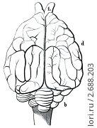 """Старая гравюра. Мозг домашней собаки. Книга """"Natur und Offenbarung"""" 1861. Том 7. Стоковая иллюстрация, иллюстратор Sergey Kohl / Фотобанк Лори"""