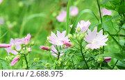 Купить «Розовые полевые цветы», видеоролик № 2688975, снято 8 августа 2010 г. (c) Алексас Кведорас / Фотобанк Лори