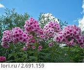 Розовые флоксы на фоне синего неба. Стоковое фото, фотограф Сергей Шихов / Фотобанк Лори