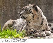 Купить «Снежный барс», фото № 2694291, снято 23 июля 2011 г. (c) Юлия Бабкина / Фотобанк Лори