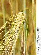 Купить «Спелый золотой колос», фото № 2696303, снято 31 июля 2011 г. (c) Валерия Попова / Фотобанк Лори