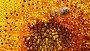 Пчелы ползают  по подсолнуху, видеоролик № 2699539, снято 20 июля 2011 г. (c) Михаил Коханчиков / Фотобанк Лори