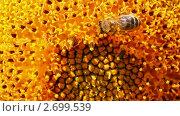 Купить «Пчелы ползают  по подсолнуху», видеоролик № 2699539, снято 20 июля 2011 г. (c) Михаил Коханчиков / Фотобанк Лори