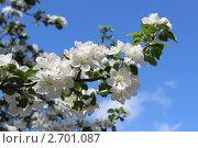 Яблоня в цвету. Стоковое фото, фотограф Вересов Сергей Николаевич / Фотобанк Лори