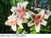 Купить «Цветущие лилии», фото № 2702851, снято 6 августа 2011 г. (c) Gagara / Фотобанк Лори