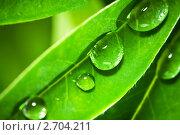 Купить «Капли воды на листьях люпина», фото № 2704211, снято 25 июня 2011 г. (c) Сергей Лаврентьев / Фотобанк Лори