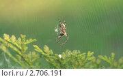 Купить «Паук в паутине», видеоролик № 2706191, снято 9 июня 2011 г. (c) Андрей Некрасов / Фотобанк Лори