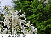 Белые лилии после дождя. Стоковое фото, фотограф Владимир Доковски / Фотобанк Лори