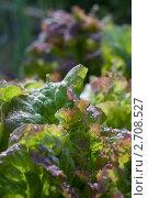 Свежие листья салата растущие на грядке. Стоковое фото, фотограф Михеев Павел / Фотобанк Лори