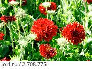 Купить «Скабиоза красная», фото № 2708775, снято 22 июля 2011 г. (c) Хайрятдинов Ринат / Фотобанк Лори