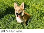 Купить «Собака породы вельш-корги пемброк сидит в густой траве», фото № 2712555, снято 2 июля 2011 г. (c) Солодовникова Елена / Фотобанк Лори