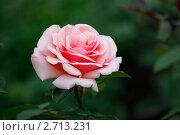 Роза. Стоковое фото, фотограф Елена Мурашева / Фотобанк Лори