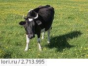 Корова. Стоковое фото, фотограф Игорь Веснинов / Фотобанк Лори
